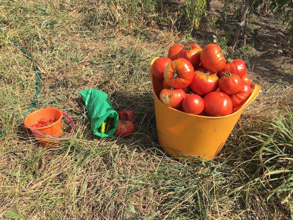 Prima recoltă din 2019.